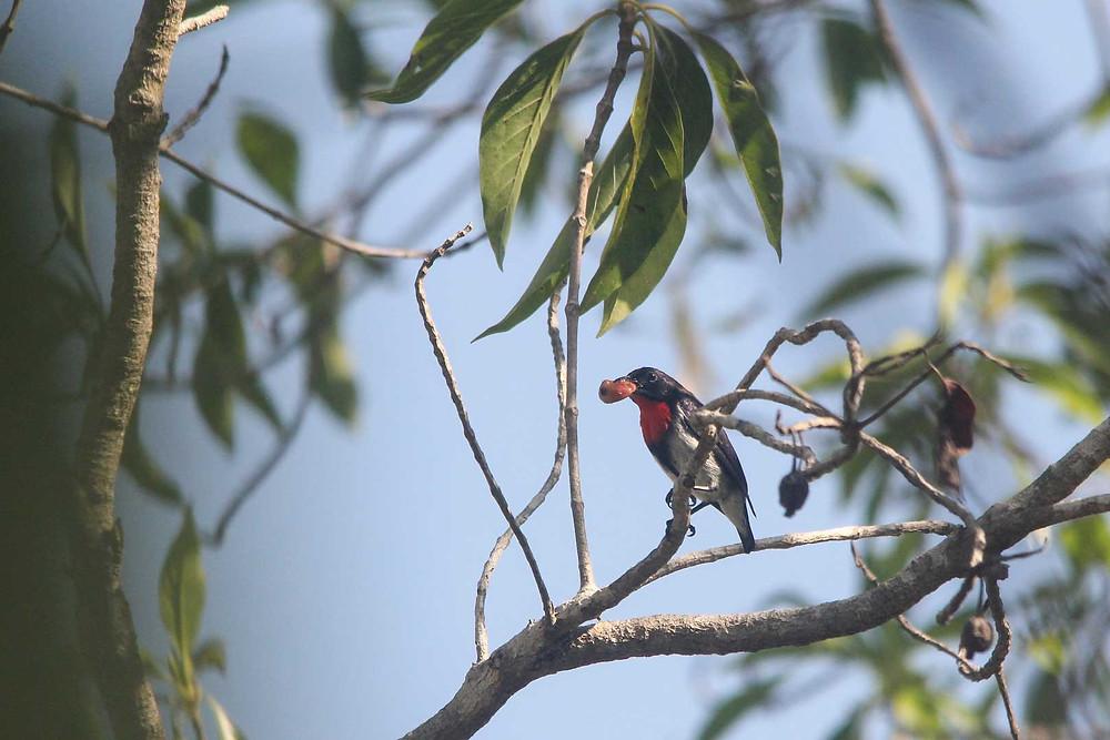 Male Sumba Flowerpecker enjoyed fruit of Calabur tree
