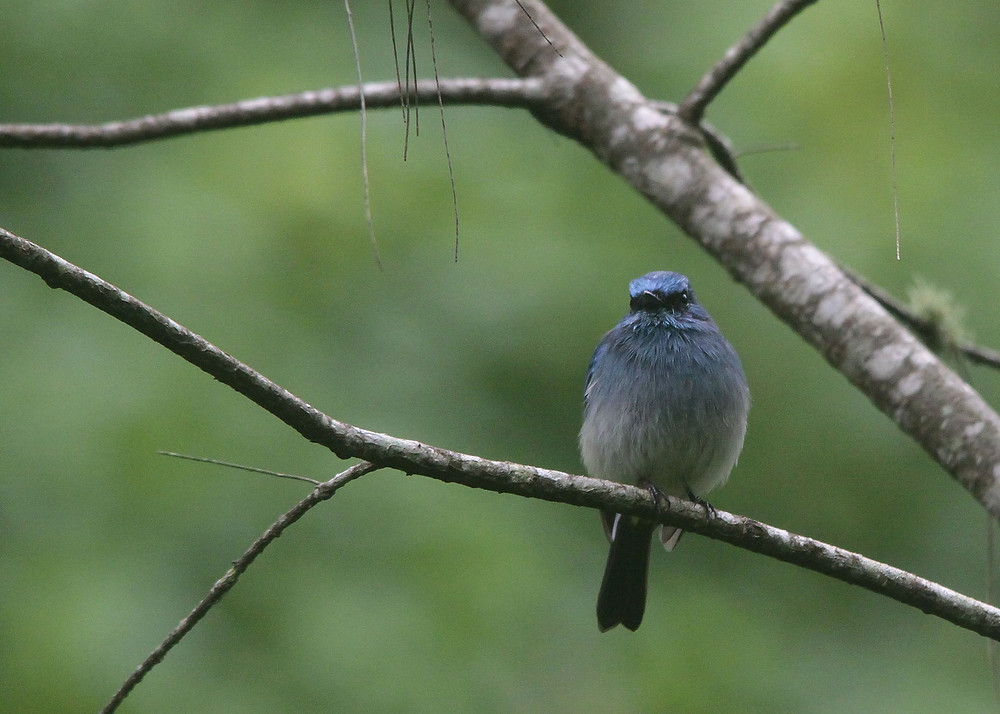 Frontal view of Indigo Warbling Flycatcher.