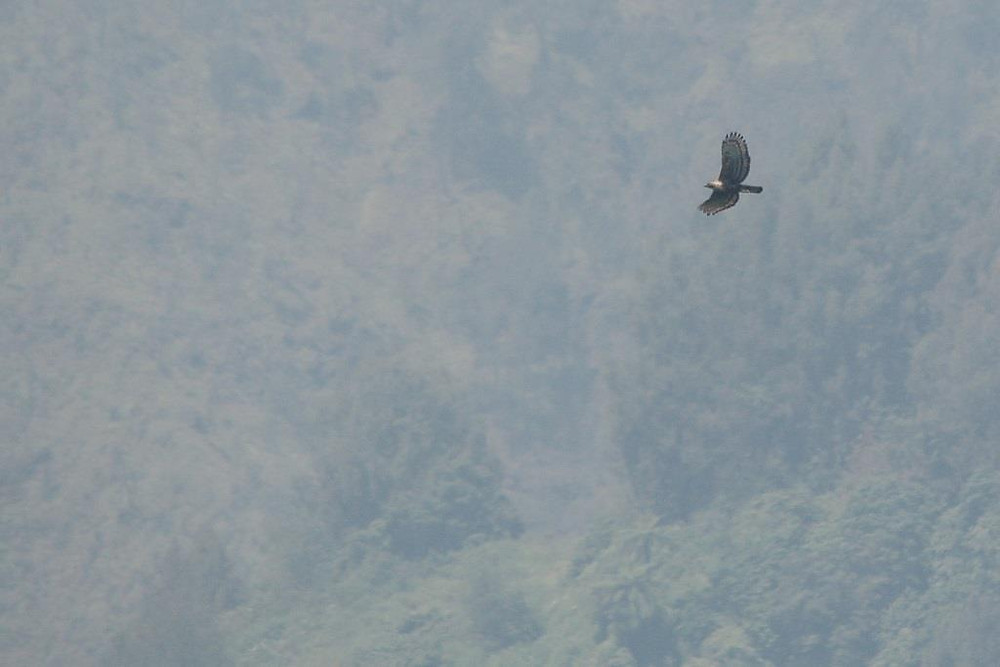 An adult Javan Hawk-eagle soaring above the forest