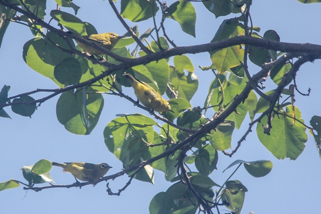 Three of dozens Javan White-eye in Probolinggo, East Java