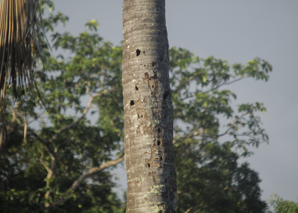 Woodpecker holes on Dead Palm tree