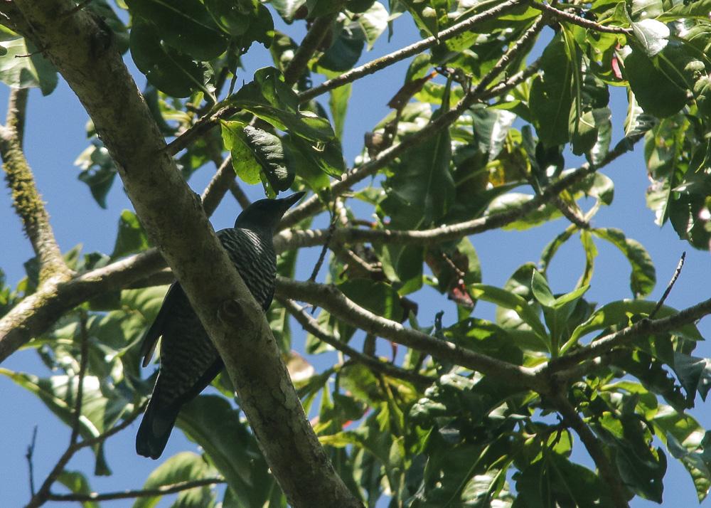 Pale-shouldered Cicadabird_Coracina dohertyi