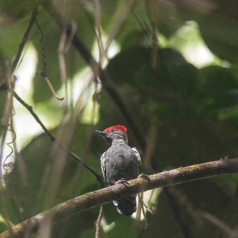 Grey-and-buff Woodpecker