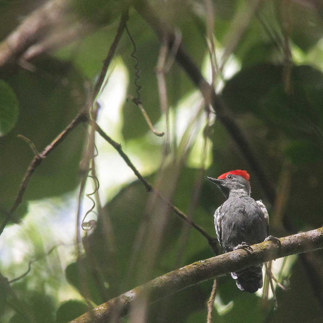 Grey-and-buff (Red Crested) Woodpecker