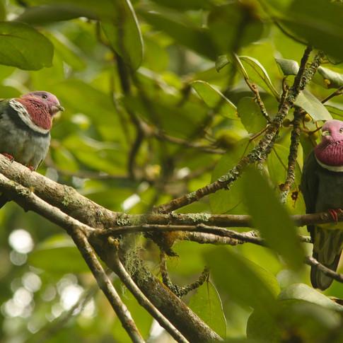 Pink-headed Fruit-dove