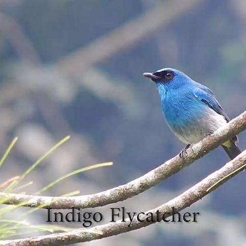 Beautiful duet song of Indigo Flycatchers