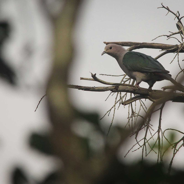 Green Imperial Dove