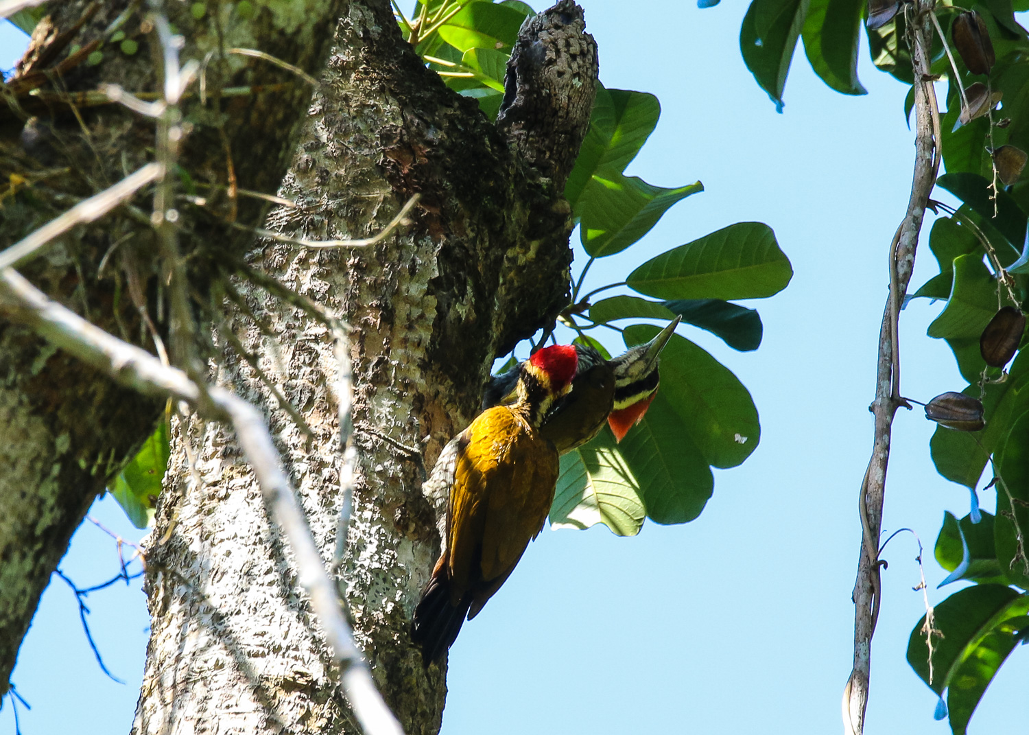 Young and Adult Male Javan Flameback