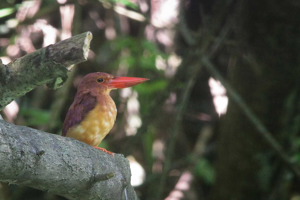 Ruddy Kingfisher from south Malang, East Java