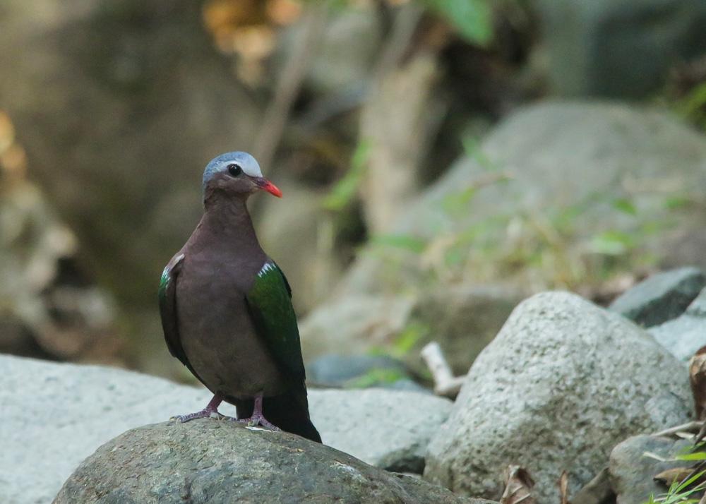 Grey-capped Emerald Dove