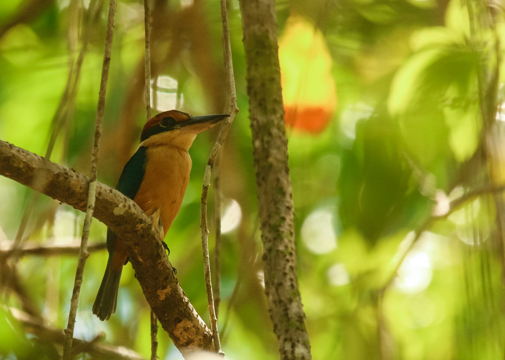 Cinnamon-banded Kingfisher_Todiramphus australasia