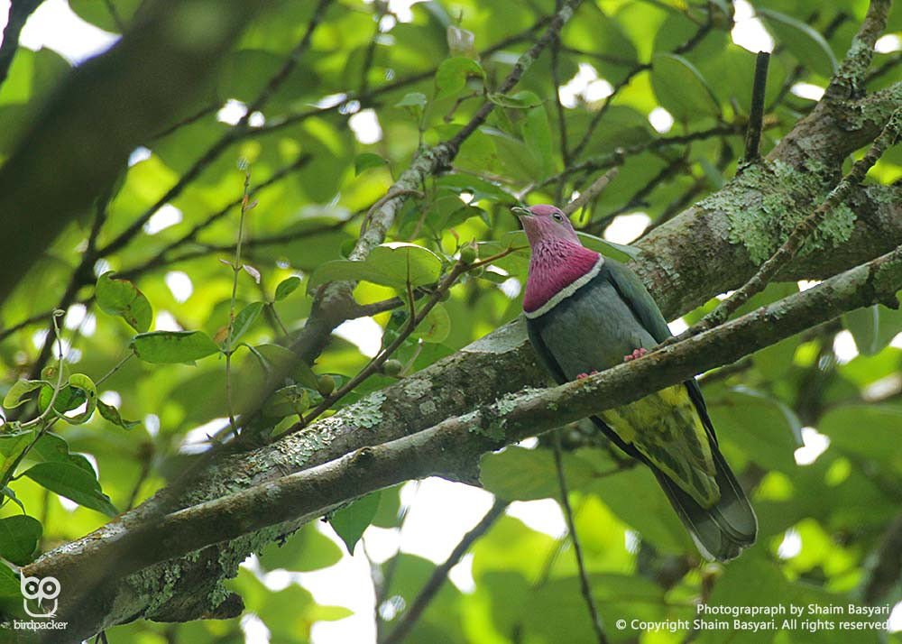 Bird of the day, Pink-headed Fruit-Dove