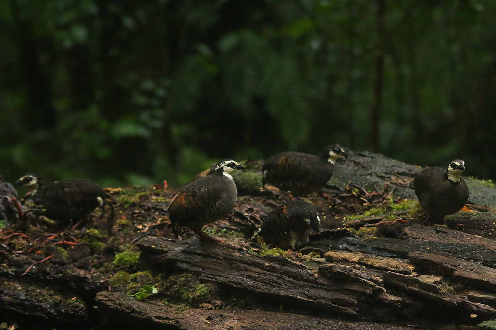 5 of 6 Grey-breasted / White-faced Partridge from Mt. Ijen, East Java