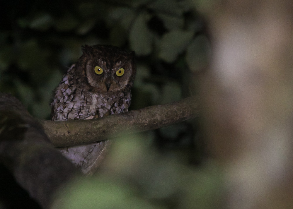 The endemic Rinjani Scops-owl easy to find on site