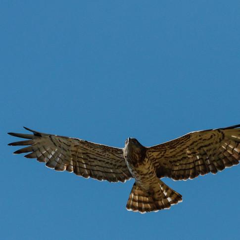 Short-toed Serpent-eagle