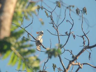 Trip report of 3 Days Birding in Sumba, October 2018