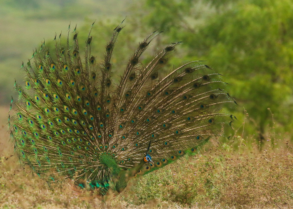 Dazzling a male Green Peafowl