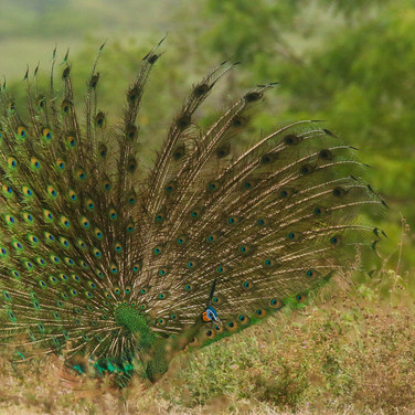 Display Green Peafowl