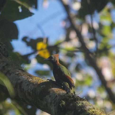 Checker-throated Woodpecker