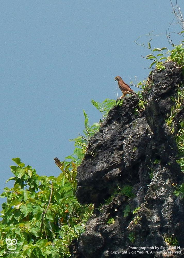 (Indonesian) Spotted Kestrel