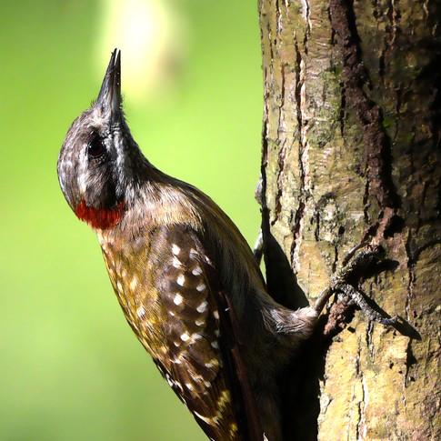 Sulawesi Pygmy Woodpecker