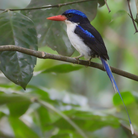 Common Paradise-kingfisher (Tanysiptera galatea)