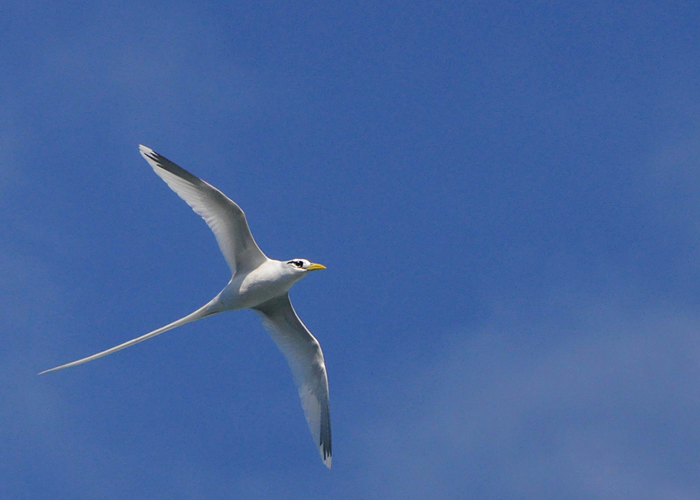Lepturus race of White-tailed Tropicbird at Ngungap Cliff