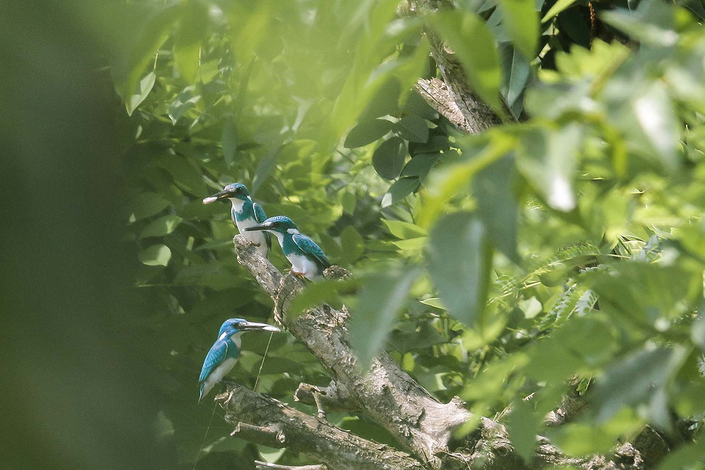 One grup family of Cerulean Kingfisher