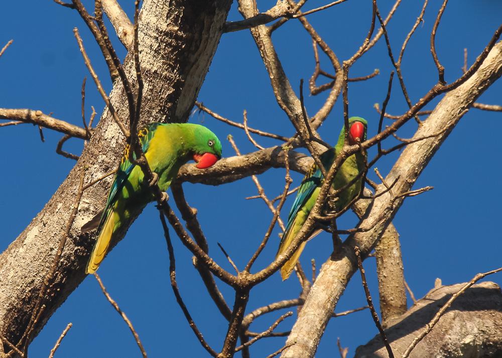 Great-billed Parrot_Tanygnathus megalorynchos_SWBP