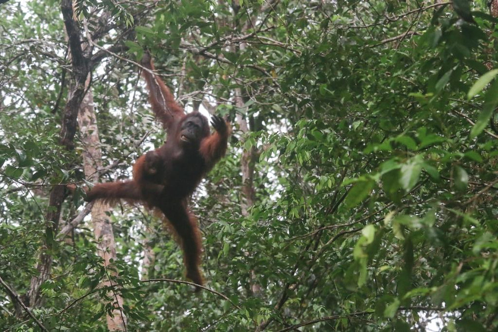Adult female Bornean Orangutan and its baby swinging around in the forest of Tanjung Puting NP