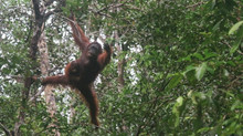 Birding and Primate Tours in Tanjung Puting NP, Central Borneo