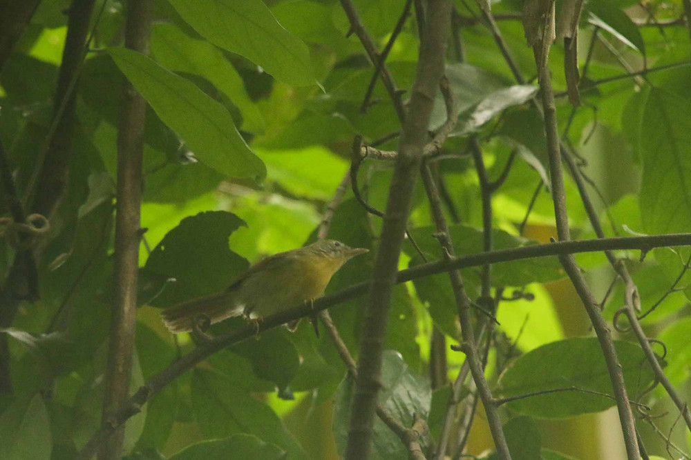 Grey-cheeked Tit-babbler in Baluran NP. It is endemic to Java island.