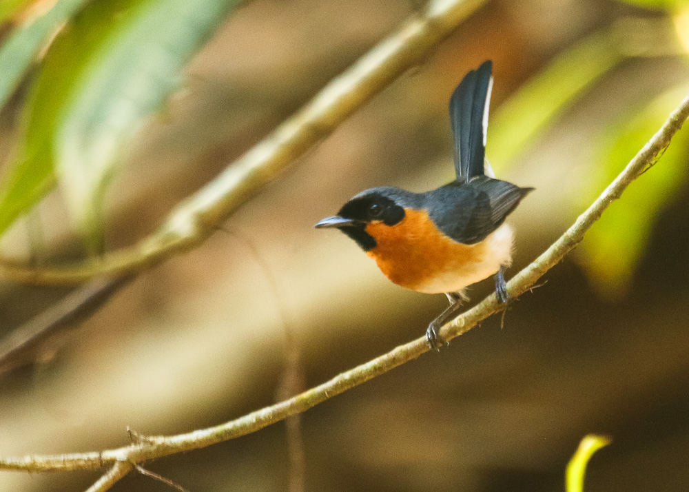 Spectacled Monarch_Symposiachrus trivirgatus_SWBP