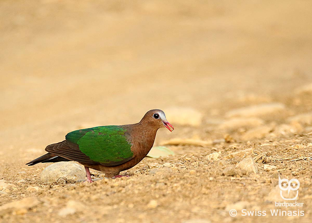 Common-emerald Dove