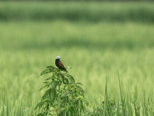 2 Days with White-capped Munia in Jogja