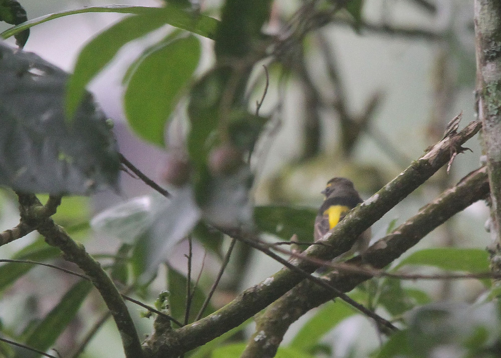 Our client's lifer during this trip, the rare visitor Narcissus Flycatcher