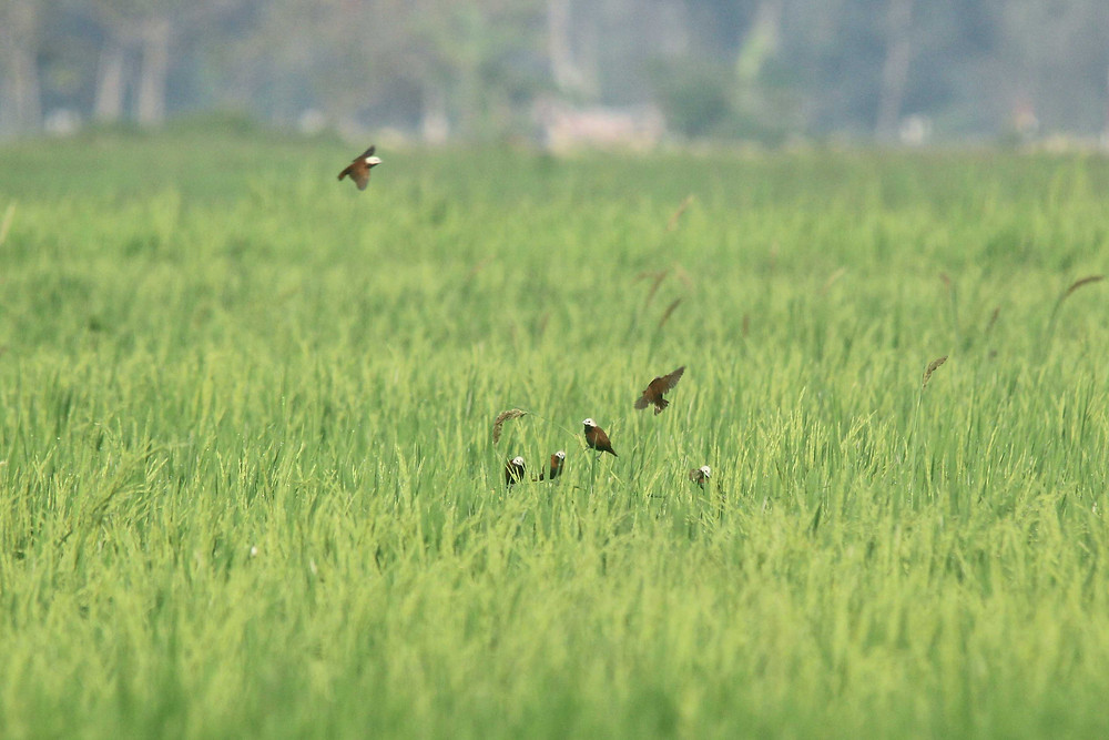 Foraging groups White-capped Munia