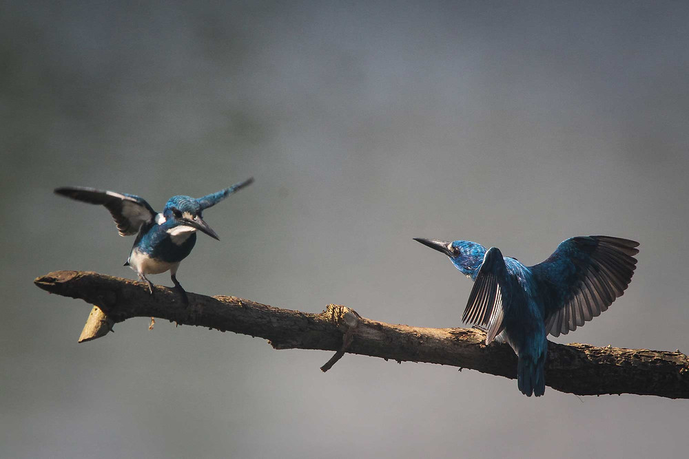 Two Cerulean Kingfishers at south Malang, East Java