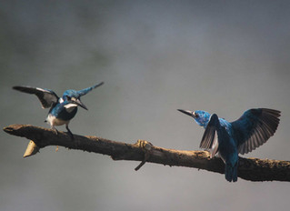 Kingfisher trip in around Malang, East Java