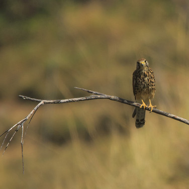 Indonesian Spotted Kestrel