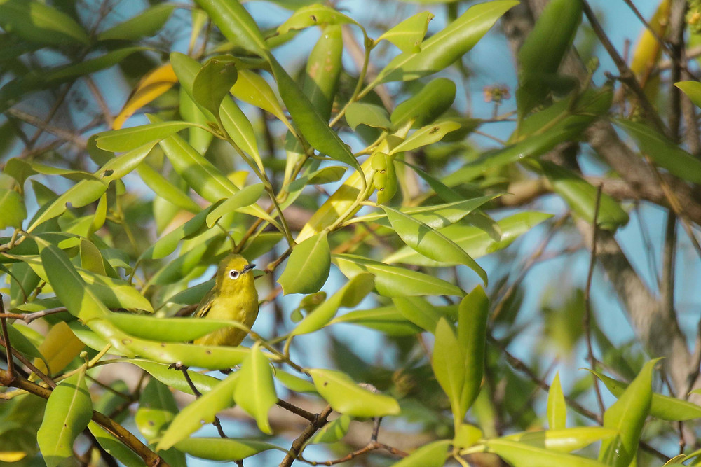 The Javan White-eye foraging in mangrove tree