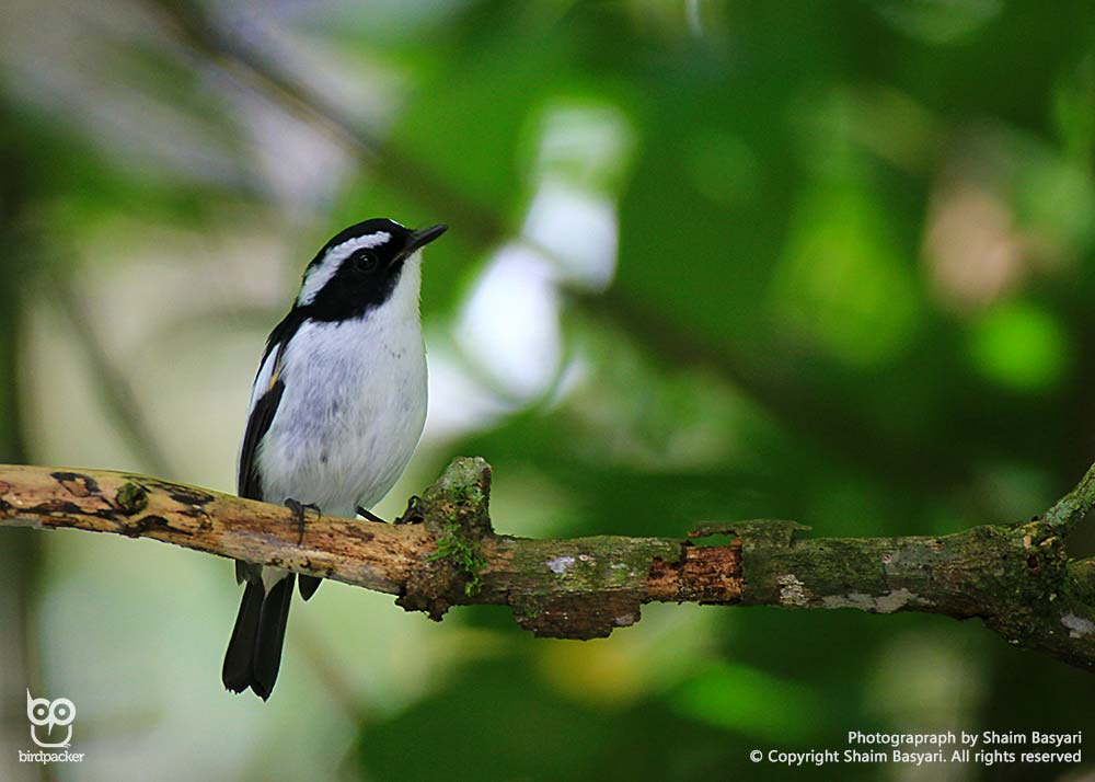 Little-pied Flycatcher