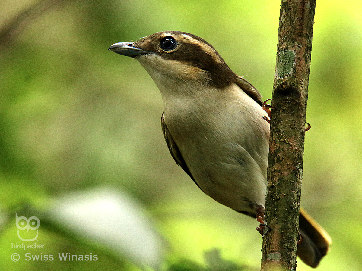 Female Pied Shrike-babbler