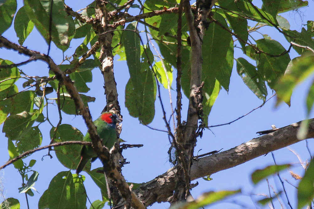 Adult male Mutis Parrotfinch from Eucalyptus forest in Mount Mutis, West Timor.