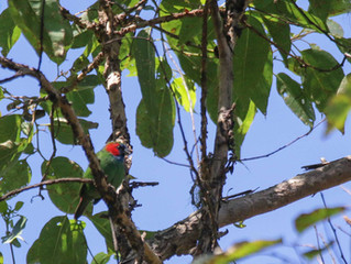 REDISCOVERED the Mutis Parrotfinch in West Timor, Indonesia