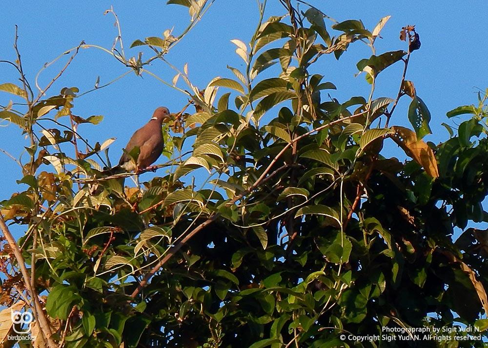 Island-collared Dove