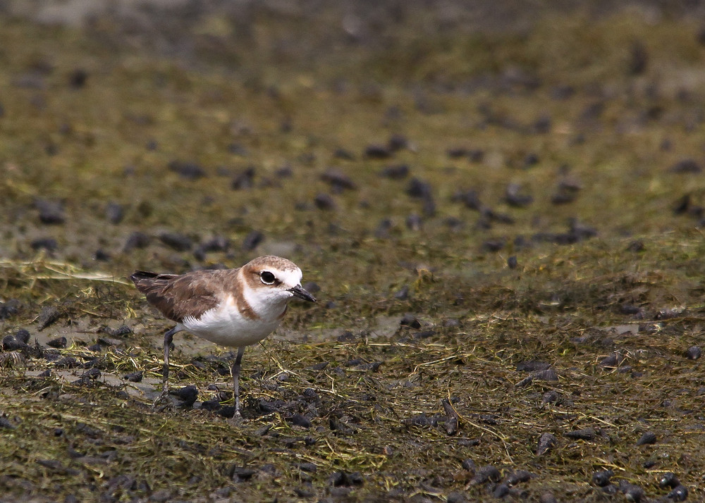 Javan Plover on the mudflat of Wonorejo wetland