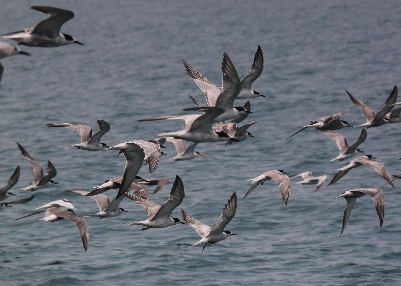 Flock Terns in Flight