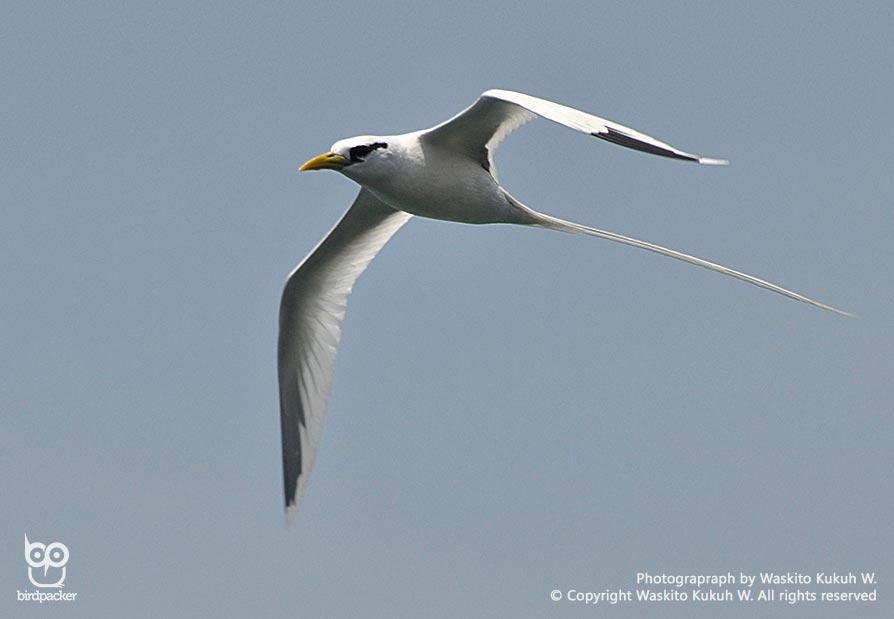 Flight mode White-tailed Tropicbird