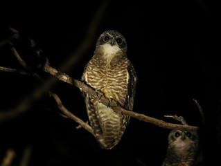 Birding on Sumba